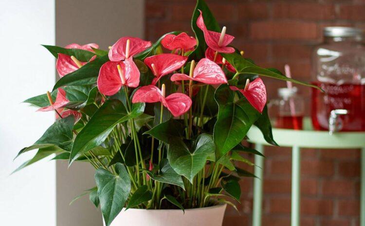Купить комнатные цветы с доставкой в Бельцах